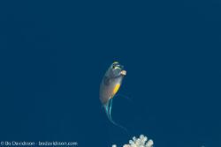 BD-131210-St-Johns-1094-Naso-elegans-(Rüppell.-1829)-[Elegant-unicornfish].jpg